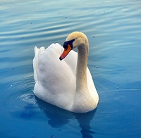 image of swan to symbolize misperception