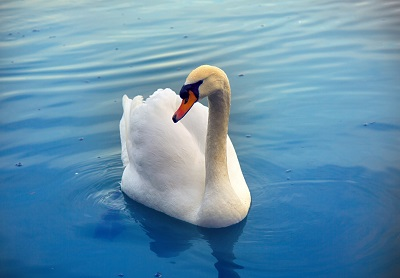 image of swan as a symbol for non 12 step misperceptions
